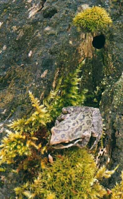 Tree Frog on log