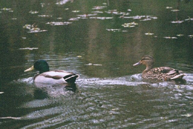 Mallard Pair on the slough at Windsor Island gravel pit