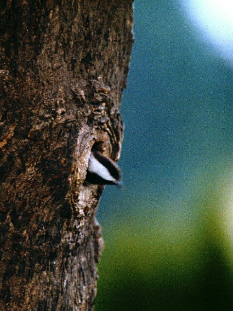Nut Hatch head in tree.jpg