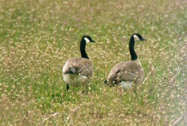 Pair of Male Canadain Geese in corn field by Windsor Island gravel pit