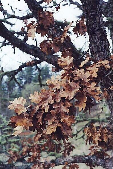 winteroaks.jpg